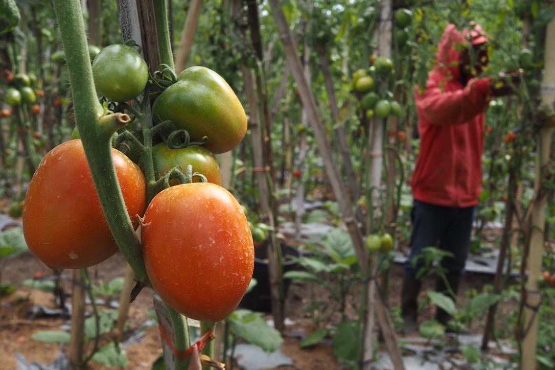 Benih hibrida membuat petani tergantung pada korporasi. Foto Anton Muhajir.