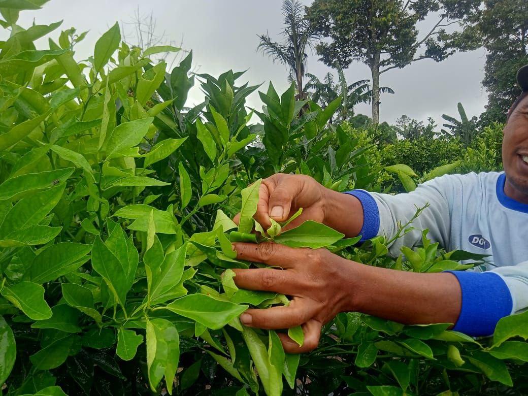 Komang Alit memerlihatkan hama pada pucuk daun jeruk kintamani.