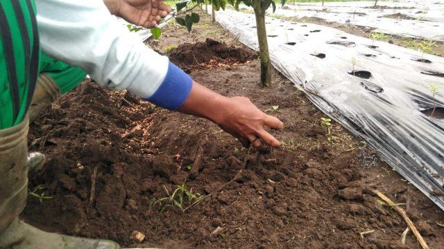 Petani jeruk kintamani menebar pupuk di sekitar pohon agar tanamannya mendapatkan nutrisi