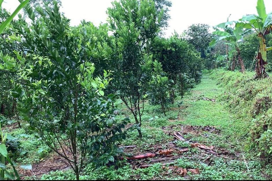 Pada umumnya petani muda di Mengani menanam komoditas umur panjang seperti jeruk dan kopi karena nilai jualnya lebih tinggi.